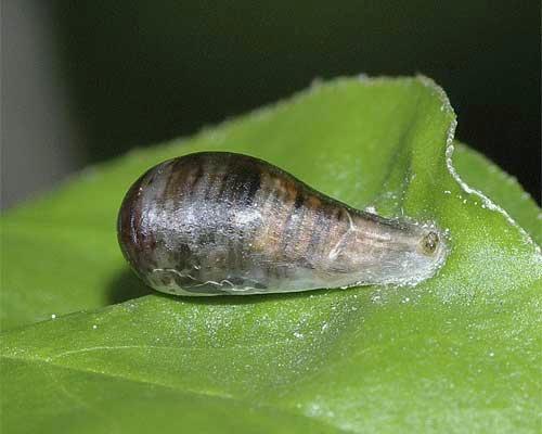 ホソヒラタアブの囲蛹(横から)