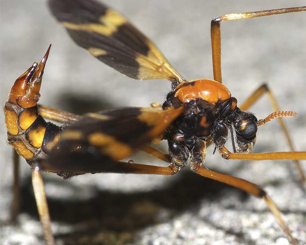ホリカワクシヒゲガガンボ(雌)3