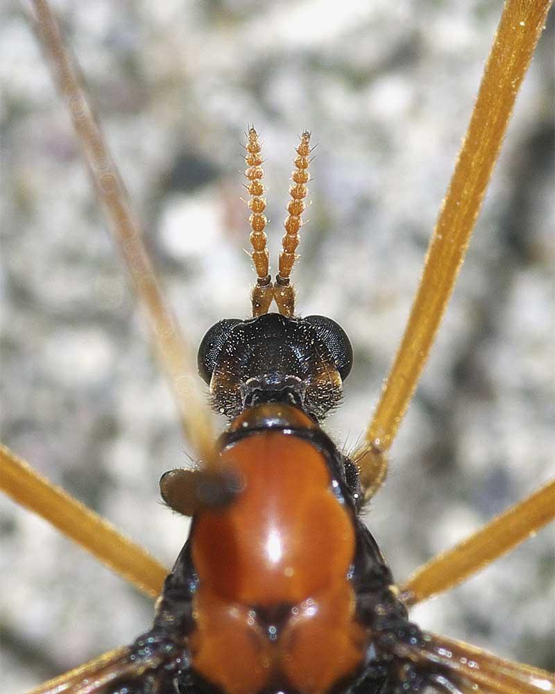 ホリカワクシヒゲガガンボ(雌)4