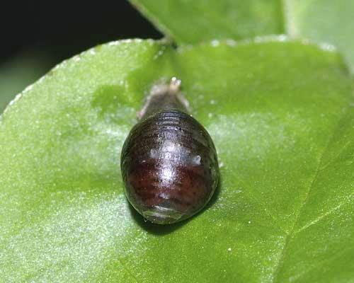 ホソヒラタアブの囲蛹(前から)