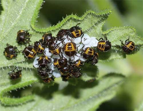 クサギカメムシの幼虫(初齢)1