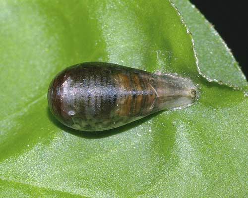 ホソヒラタアブの囲蛹(上から)