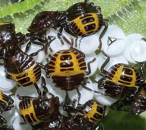 クサギカメムシの幼虫(初齢)2