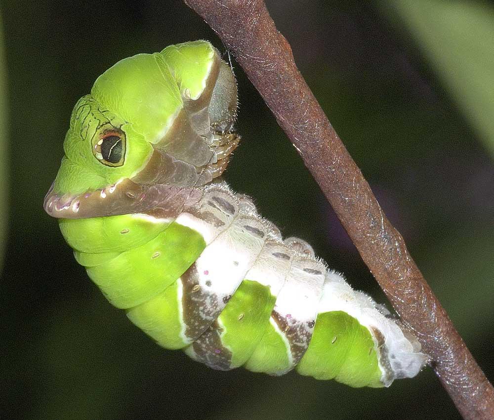 クロアゲハの前蛹1