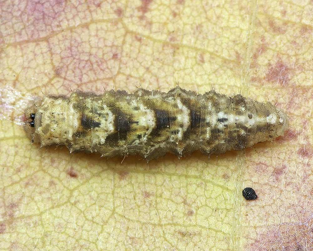 クロヒラタアブの幼虫1