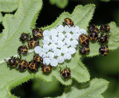 クサギカメムシの幼虫(初齢)3