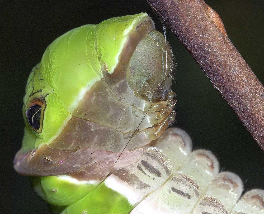 クロアゲハの前蛹2