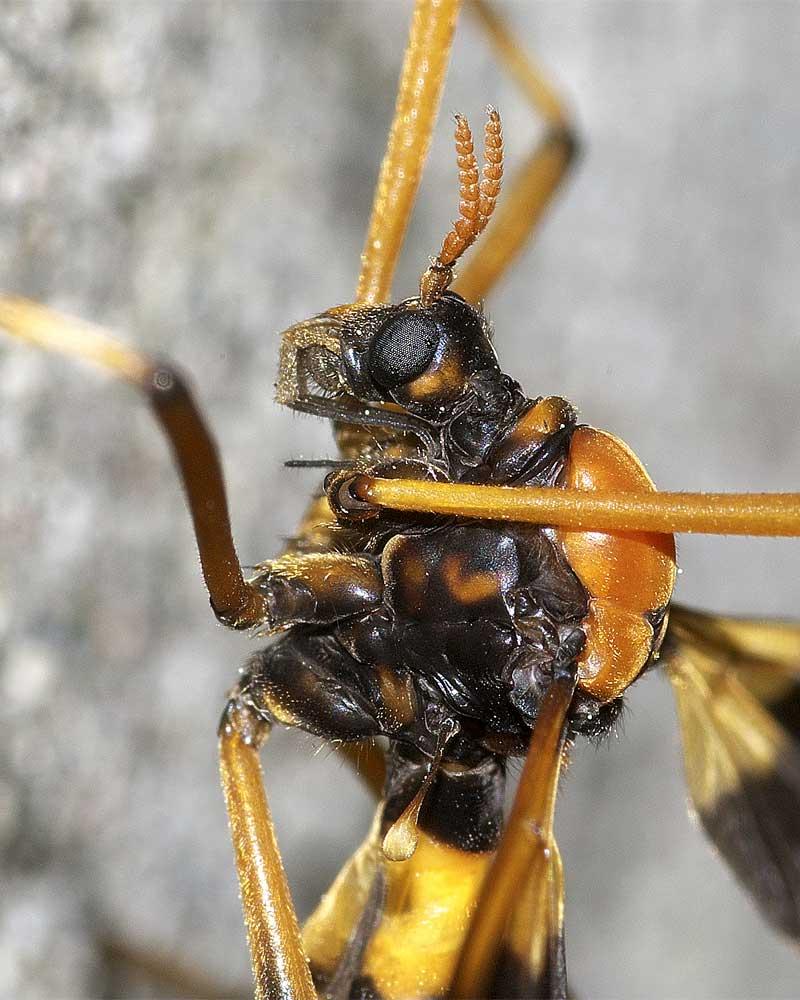 ホリカワクシヒゲガガンボ(雌)5