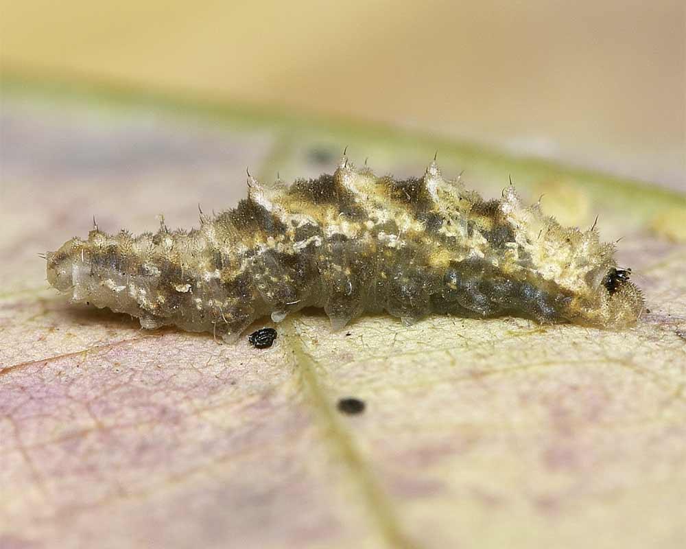 クロヒラタアブの幼虫2