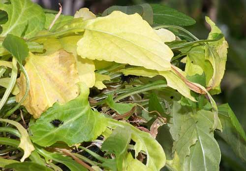 ツマグロヒョウモンの幼虫(越冬中)1