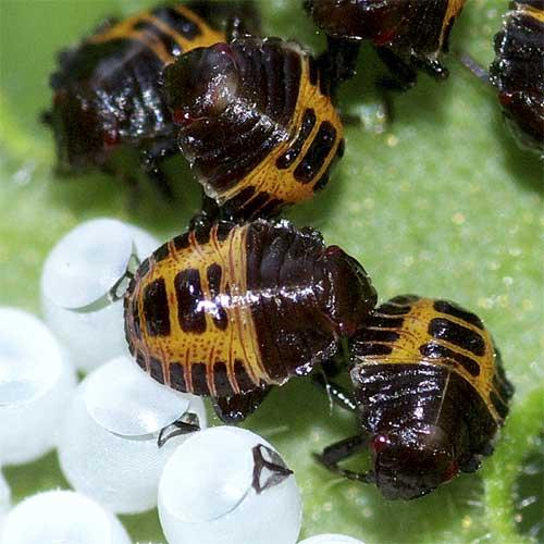 クサギカメムシの幼虫(初齢)4