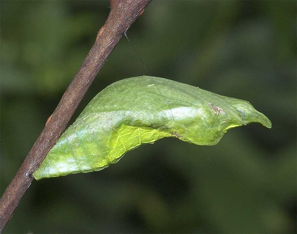 クロアゲハの蛹1