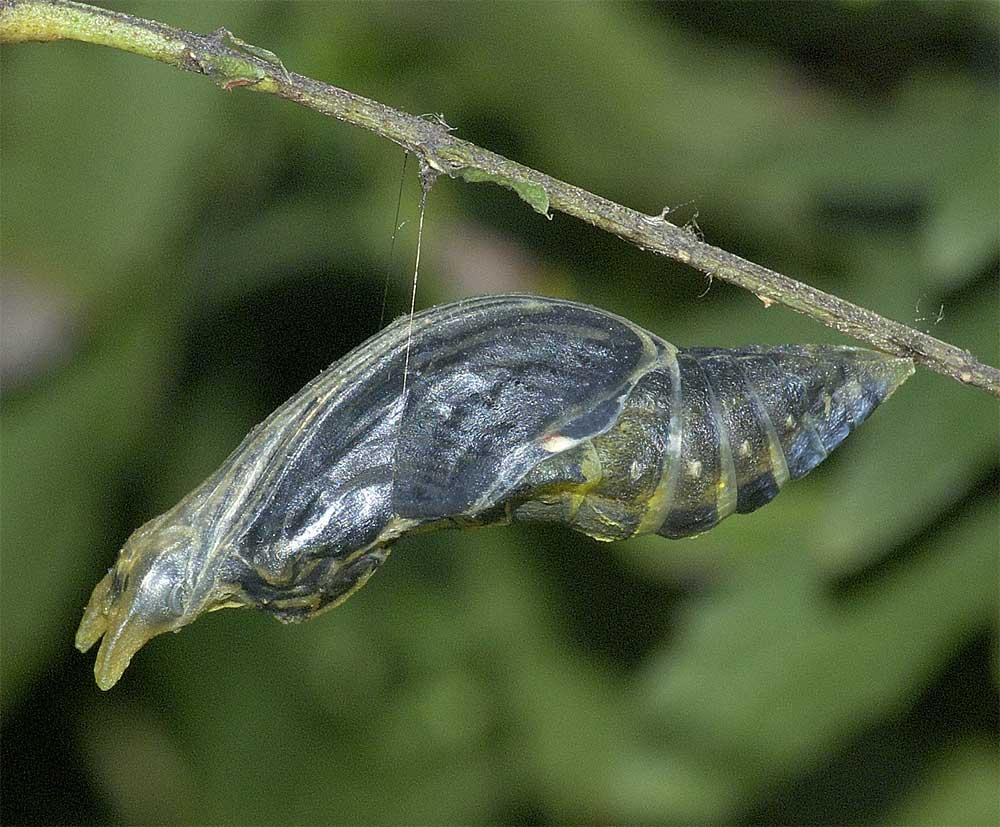 クロアゲハの蛹2