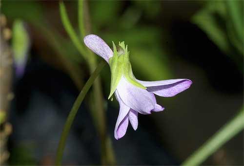 コスミレの花(横から)