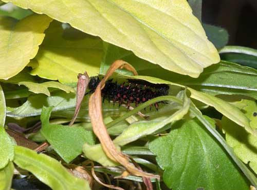 ツマグロヒョウモンの幼虫(越冬中)2