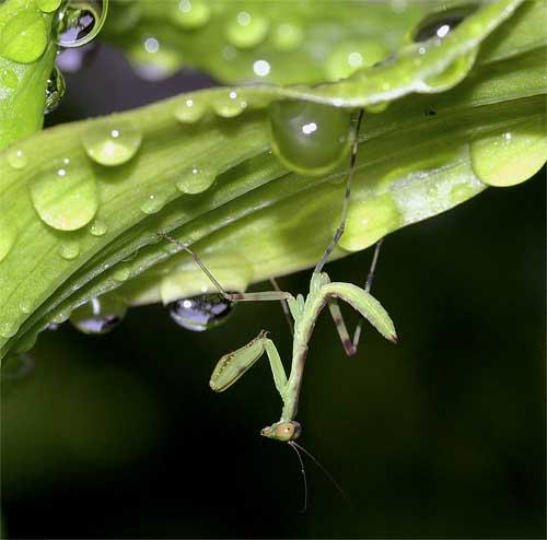 ハラビロカマキリの幼虫(2齢)2