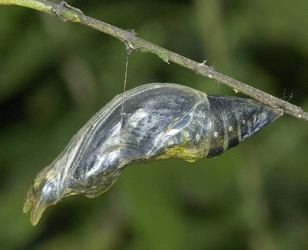 クロアゲハの蛹3