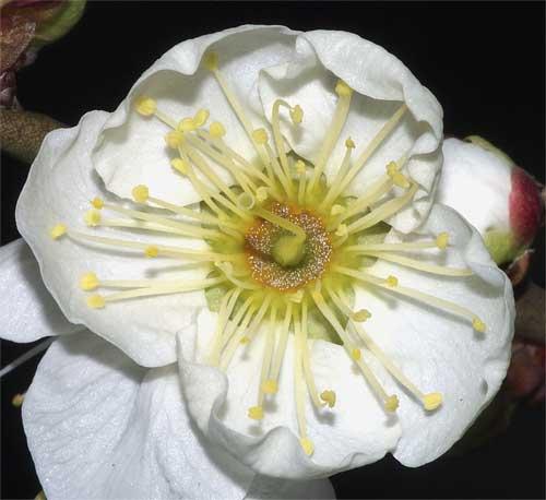 枝垂梅の花