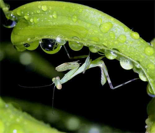 ハラビロカマキリの幼虫(2齢)3
