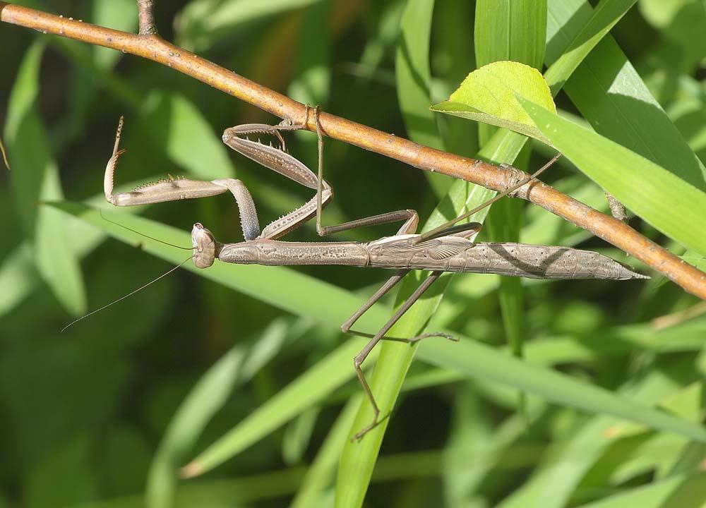 オオカマキリ(褐色型)の終齢幼虫3
