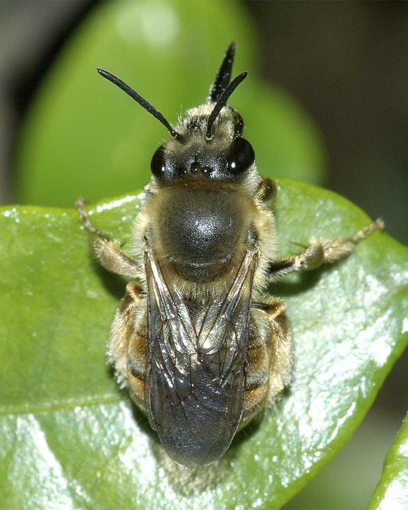 ニッポンヒゲナガハナバチ(雌)1