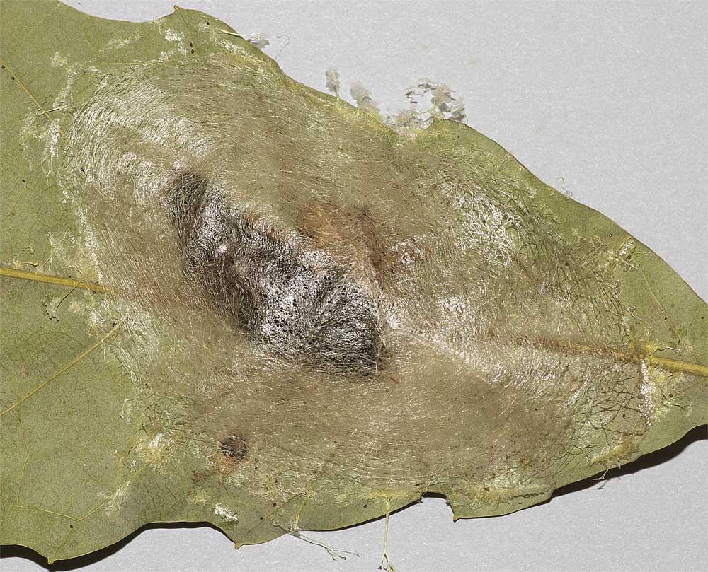 シャチホコガの繭2