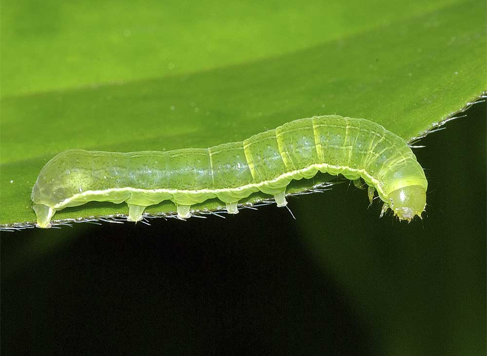 キバラモクメキリガの幼虫(4齢)2