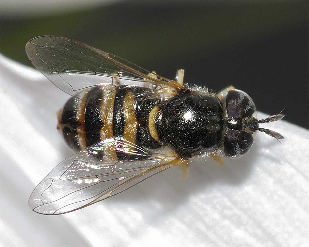 シママメヒラタアブ(雌)1