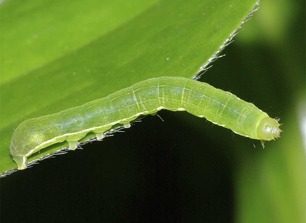 キバラモクメキリガの幼虫(4齢)3