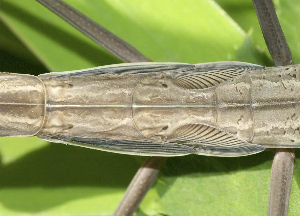 オオカマキリ(褐色型)の終齢幼虫6