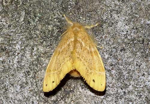 チャドクガ(雌)1