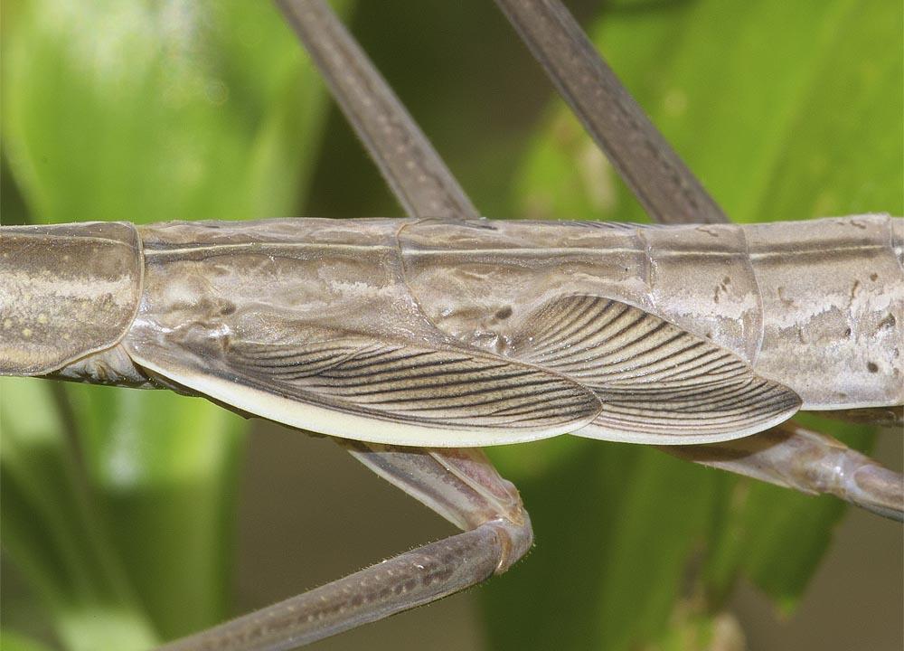 オオカマキリ(褐色型)の終齢幼虫7