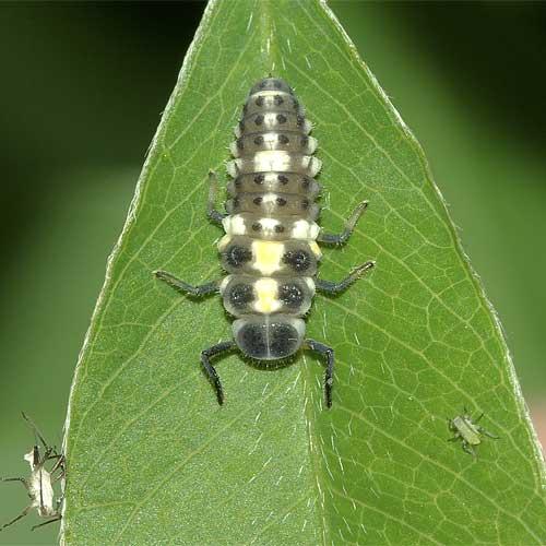 ヒメカメノコテントウの終齢幼虫