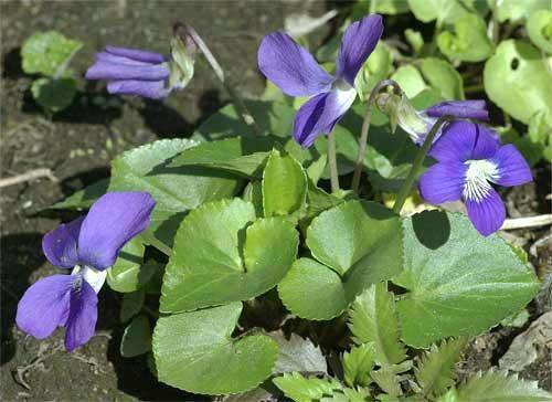 アメリカスミレサイシン(青色種)