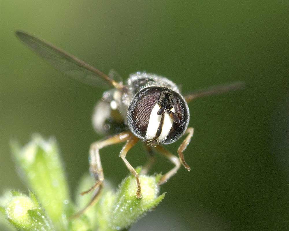シママメヒラタアブ(雌)4