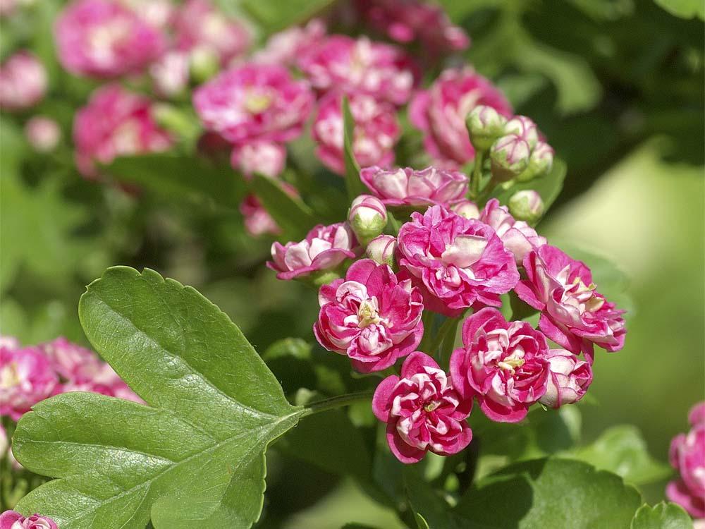 サンザシ(赤花八重咲き)2