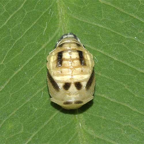 ヒメカメノコテントウの蛹