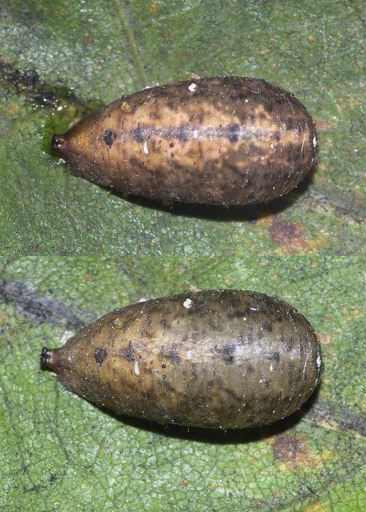 マガイヒラタアブの蛹1