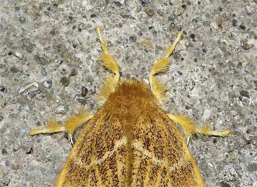 チャドクガ(雌)の頭部拡大