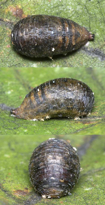 マガイヒラタアブの蛹3