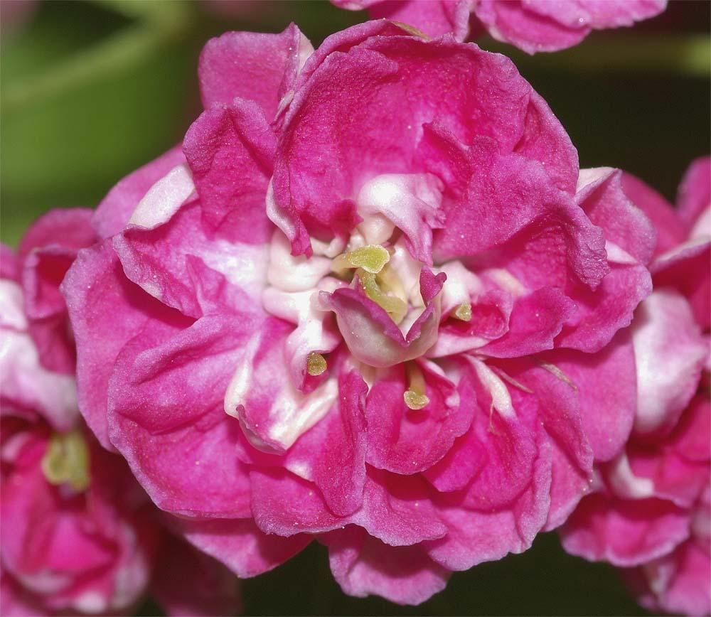 サンザシ(赤花八重咲き)5
