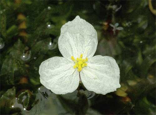 オオカナダモの花 | 我が家の庭の生き物たち (都内の小さな庭で ...