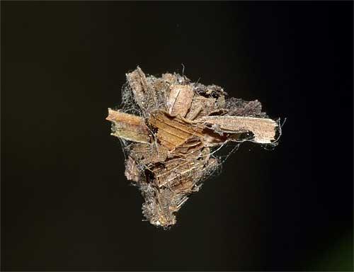 ニトベミノガの「ミノムシ」1