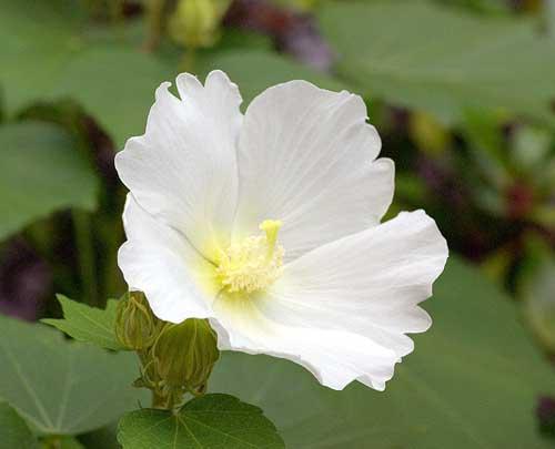 フヨウの花1