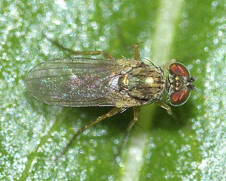 チビアシナガバエ(Chrysotus)属の1種1
