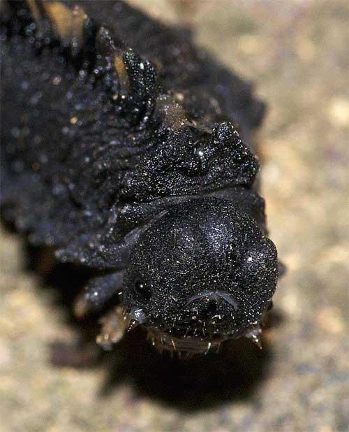 クロムネハバチの近縁種の幼虫2