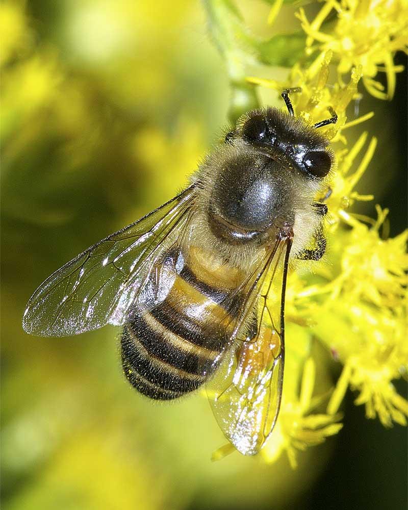 ニホンミツバチ1