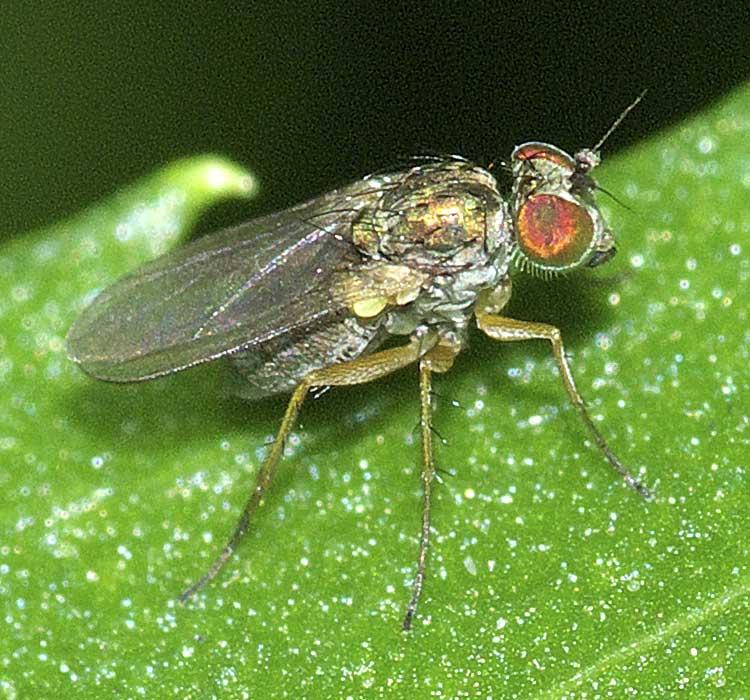 チビアシナガバエ(Chrysotus)属の1種2