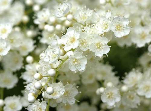 ニワナナカマドの花3