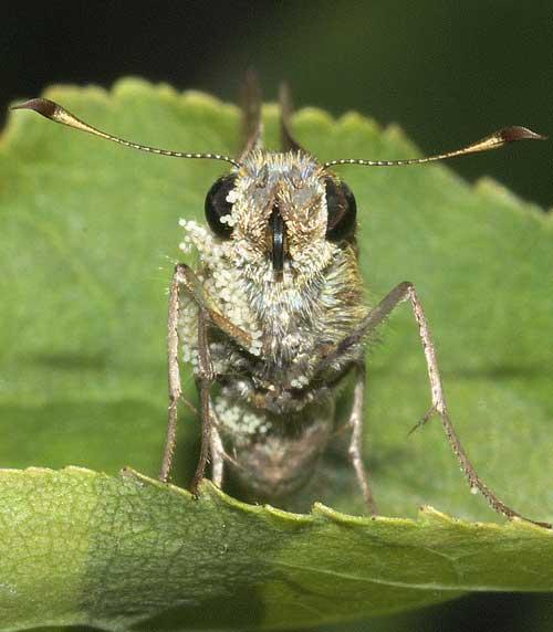 フヨウの花粉まみれのチャバネセセリ